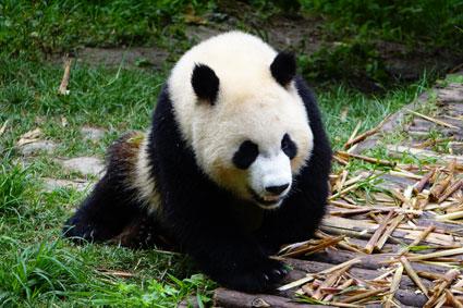 panda1990.jpg